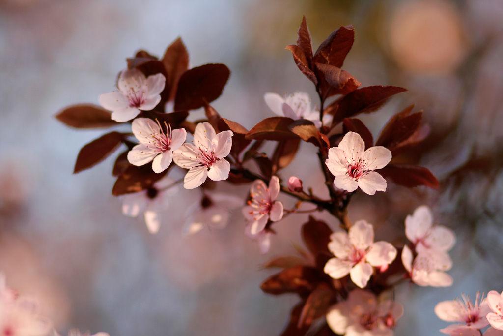 Fleurs de Prunus 2/4 by Jérôme Boivin